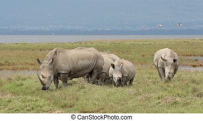 rhinocéros, blanc, alimentation