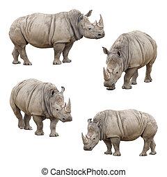 rhinocéros, blanc, ensemble, isolé, fond