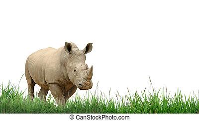 rhinocéros, herbe, vert