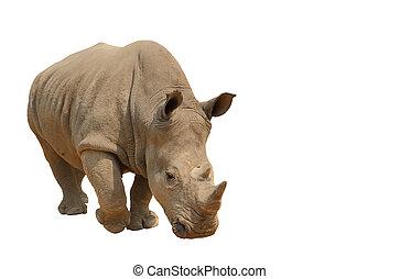rhinocéros, isolé, path., coupure