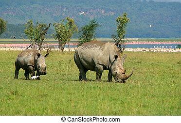 rhinocéros, sauvage