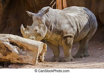 rhinocéros, zoo