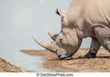 A White Rhinoceros approaches the water at Lake Nakuru, to go and quinch heer thirst.