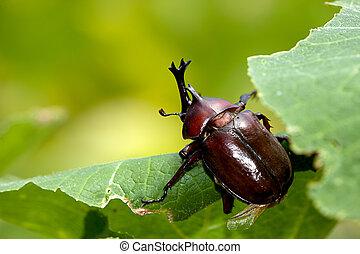 Rhinoceros beetle - Rhinoceros beetle (Allomyrina...