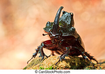 rhinoceros beetle in the wild asia in thailand