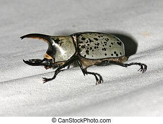 Rhinoceros Beetle - male - Scarabeidae