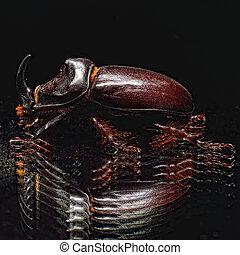 rhinoceros beetle on a black background
