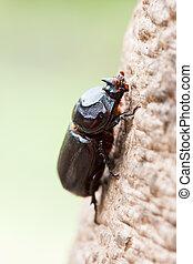 Rhinoceros beetle on branches