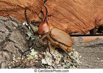 Rhinoceros Beetle on Wood