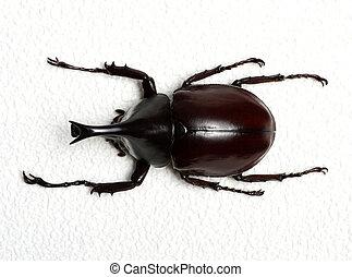 beetle - Rhinoceros beetle, Rhino beetle, Hercules beetle,...