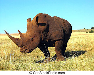 Rhinoceros close-up on a background of blue sky in the savanna in sunny day