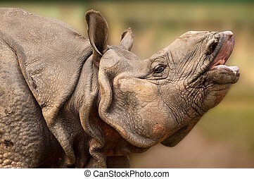Rhinoceros closeup