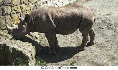Rhinoceros (Diceros bicornis) with large horns