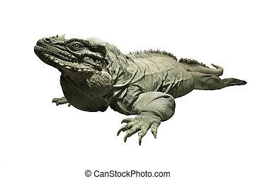 rhinoceros iguana isolated on white