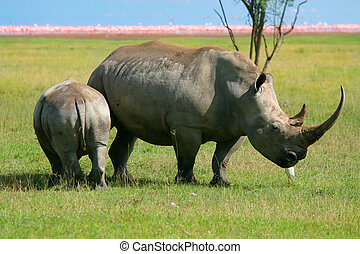 Rhinoceros in the wild. Africa. Kenya. Lake Nakuru