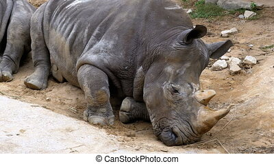 Rhinoceros lies on the ground at the Khao Kheow. Thailand -...