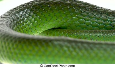 Rhinoceros Ratsnake or Rhynchophis Boulengeri. Also Known as...