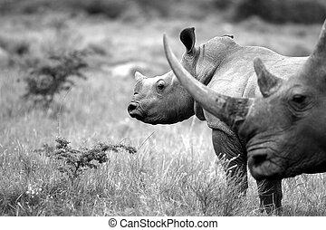 Rhinoceros / rhino and baby - A close up of a female rhino /...