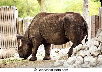 Rhinoceros - Rhino in the City Zoo. Horizontal Rhino...