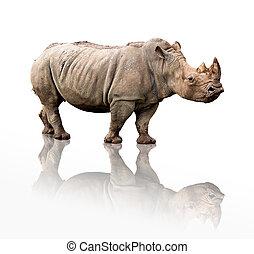 rhinoceros - portrait of a rhinoceros isolated on white