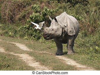 Rhinoceros - Indian one horned rhinoceros. Kaziranga...