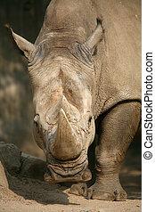 Rhinoceros - White Rhinoceros, also called: square-lipped...