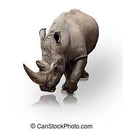 rhinoceros - wild rhinoceros walking on a reflective surface