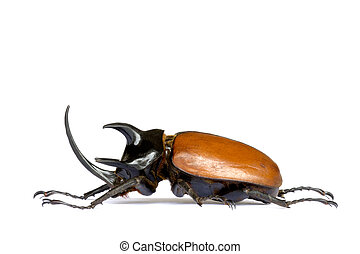 Rhinocerous Beetle - Isolated macro image of a giant male...