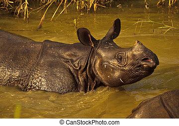 rhinocerous, unicornis, sunning, in, rivier, in, nepal