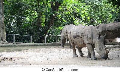 Rhinos walking in the zoo