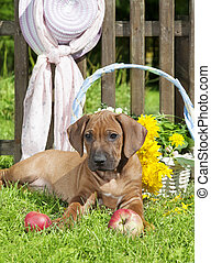 Rhodesian Ridge-back puppy dog in the garden