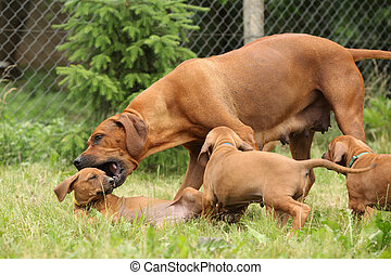 Rhodesian ridgeback bitch educating a little puppy by playing with it