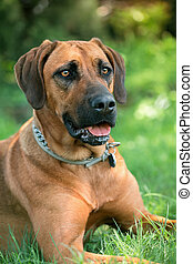 Detailed portrait of a Rhodesian Ridgeback dog