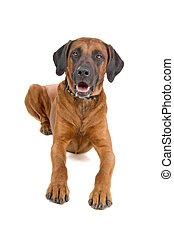 Front view of a rhodesian ridgeback lying on the floor, isolated on a white background
