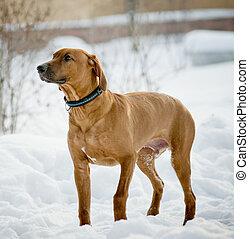 Rhodesian Ridgeback dog in winter