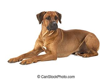 Rhodesian Ridgeback dog lying on a white background
