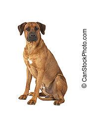 Rhodesian Ridgeback dog over white background - Rhodesian...