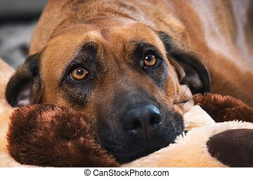 rhodesian, ridgeback, dog