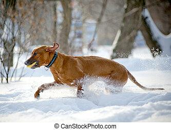 rhodesian, ridgeback, hund, in, winter