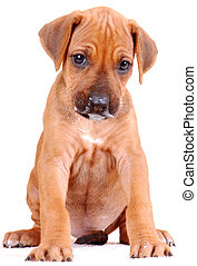 A cute six weeks old sitting purebred Rhodesian Ridgeback hound dog puppy with milk around mouth. Image isolated on white studio background.