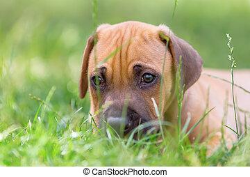 rhodesian ridgeback puppy lies in the grass