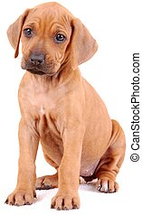 A cute six weeks old purebred Rhodesian Ridgeback hound dog puppy sitting and staring. Image isolated on white studio background.