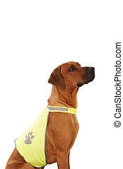 rhodesian ridgeback with vest