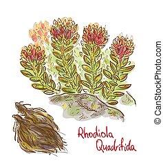 Rhodiola quadrifida plant with dried roots. Vector illustration.