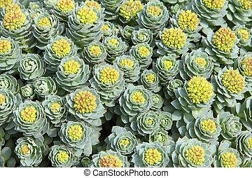 Rhodiola rosea background