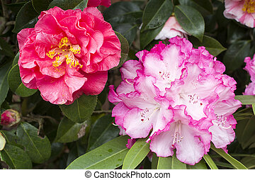 Rhododendron and camellia flowers