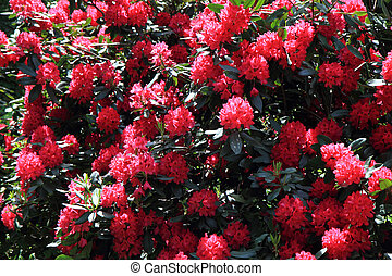 rhododendron as very nice flower background
