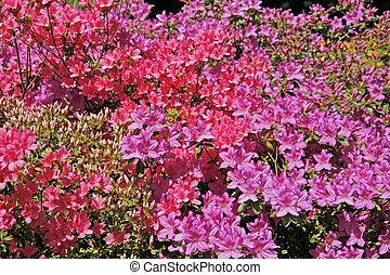 Rhododendron, Azaleas in spring, back-light