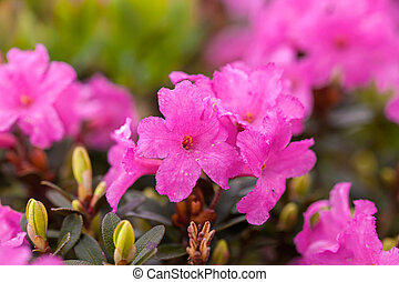 Rhododendron - Beautiful flowers of alpine rhododendron. ...