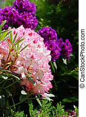 Rhododendron - Beautiful pink rhododendron flower background...